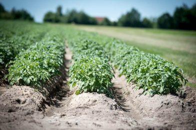 """Skąd wzięło się tyle odmian ziemniaków? Ciekawostki na temat ,, pyry""""."""