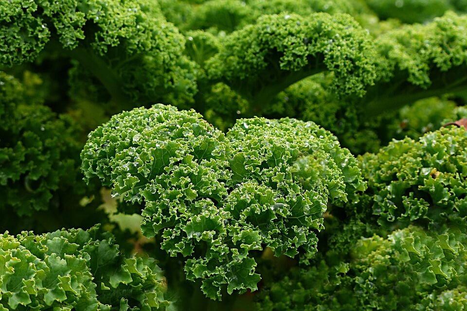 Warzywa kapustne na czele z jarmużem
